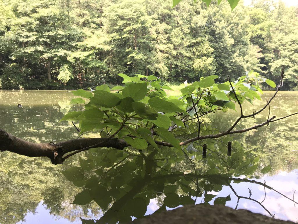 池の上の木。